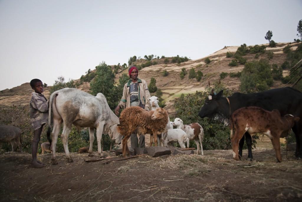 visit-ethiopia-goats-cows